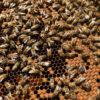 apicoltura-ape-felice