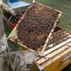 apicoltura-concadalbero